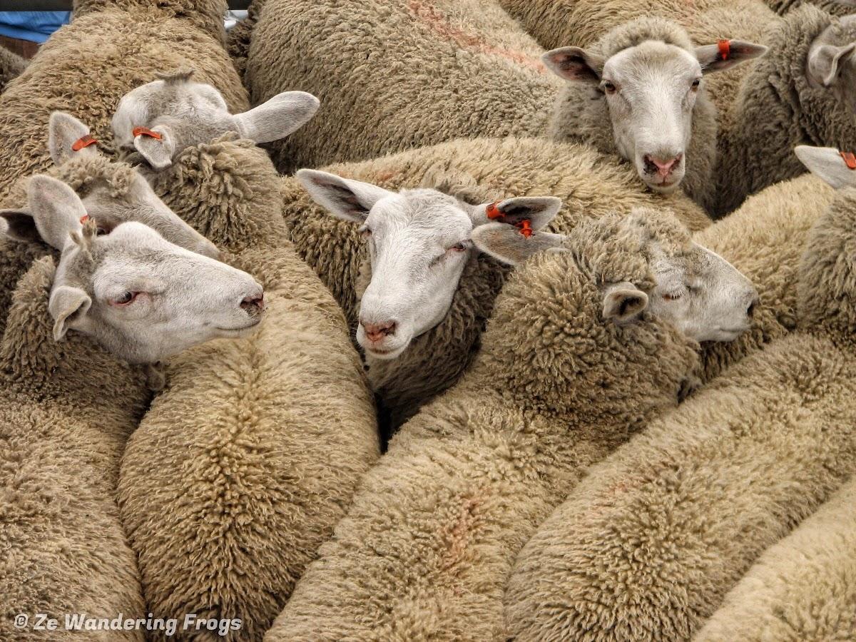Sheep on Kangaroo Island Ferry