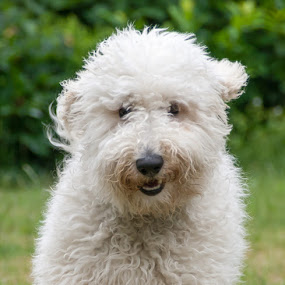 Happy Face by Lizzy MacGregor Crongeyer - Novices Only Pets ( hairy, canine, furry, pet, happy, golden doodle, puppy, best friend, fun, dog,  )