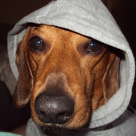 Chester dude by Rich Prall - Animals - Dogs Portraits ( cool, nosie, hoodie, watching, dog )