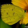One-spot Grass Yellow, Anderson's Grass Yellow