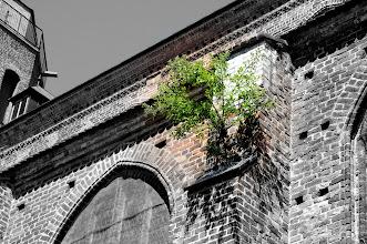 Photo: Bäume ruinieren das stolze Kirchengebäude St. Petri in Wolgast. Grablege der Pommernherzöge.  Am Kirchplatz 7 17438 Wolgast  03836 202269