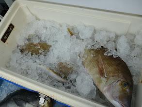 Photo: こちらもフエフキ、たんまりと!しかし、フエフキは、塩焼きで最高にウマイ! 最近、船頭もはまって食ってます! 白身のプリプリの身で・・・。ぜひ食べてみて!