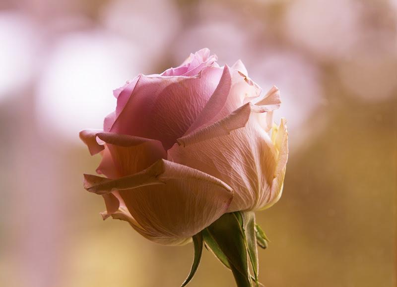 Rosa rosae di Lupetto_s