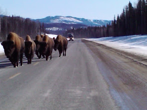 Photo: Bison marching down the road.