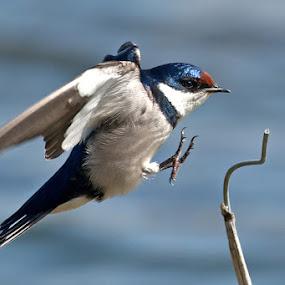 Landing by Robbie Aspeling - Animals Birds ( avian, birs, swallow, bif )