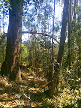 Photo: Cutting eucalyptus without treating the stump with herbicide results in re-sprouts that are even more fire prone than grown trees.