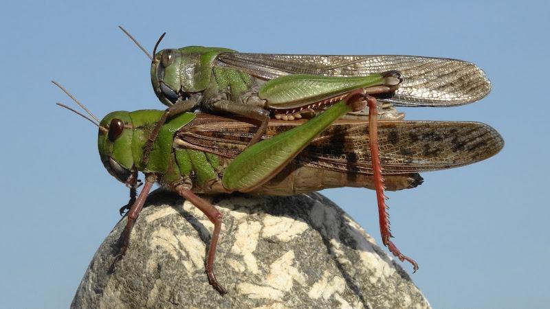 C'è un po' di bel verde sulle locuste.....basterà? di iento