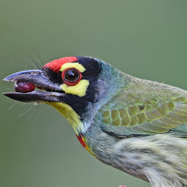 Copper smith Barbet by Mukesh Mishra - Animals Birds