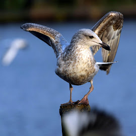 by Betty Taylor - Uncategorized All Uncategorized ( birds, gull,  )