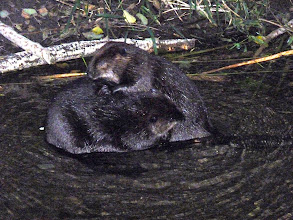 Photo: Beaver pair grooming. Picture was taken 20 minutes after sunset with a flash.