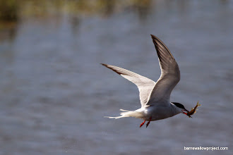 Photo: A tern catches a late lunch