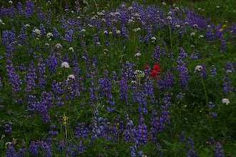 Photo: one red flower between the purple ones
