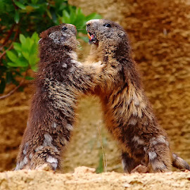 Combat de marmottes n03 by Gérard CHATENET - Animals Other Mammals