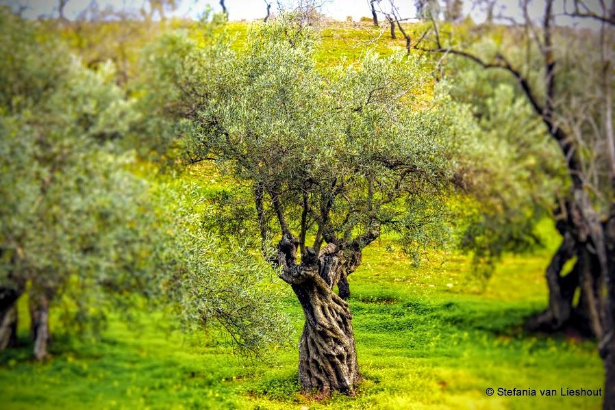 Knoestige olijfbomen in de bergen van Malaga