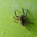 Plexippus petersi(jumping spider) ♂️