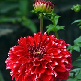 Dalhia by Ajay Halder - Flowers Flower Gardens