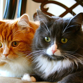 by Joelle McGraw - Animals - Cats Playing ( cats, chair, cat, beautiful, kittens, close up, portrait )