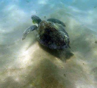 Tartarugas-Praia-do-Prumirim