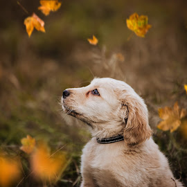 autumn by Krisztina Fejér - Animals - Dogs Puppies ( love, dog portraits, puppy, animal, dog, cute, adorable,  )