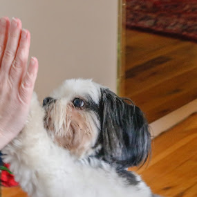 High Five by Jill Zwick - Animals - Dogs Playing ( high five, pet, dog portrait, dog playing, dog love )