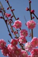 Photo: 例年並みの気候が続いた2月中盤以降は開花も順調に進み、(八重唐梅、2014,03,08)