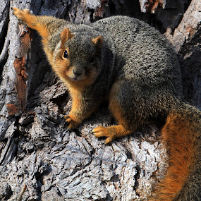 Fox Squirrel by Bruce Arnold - Animals Other Mammals (  )