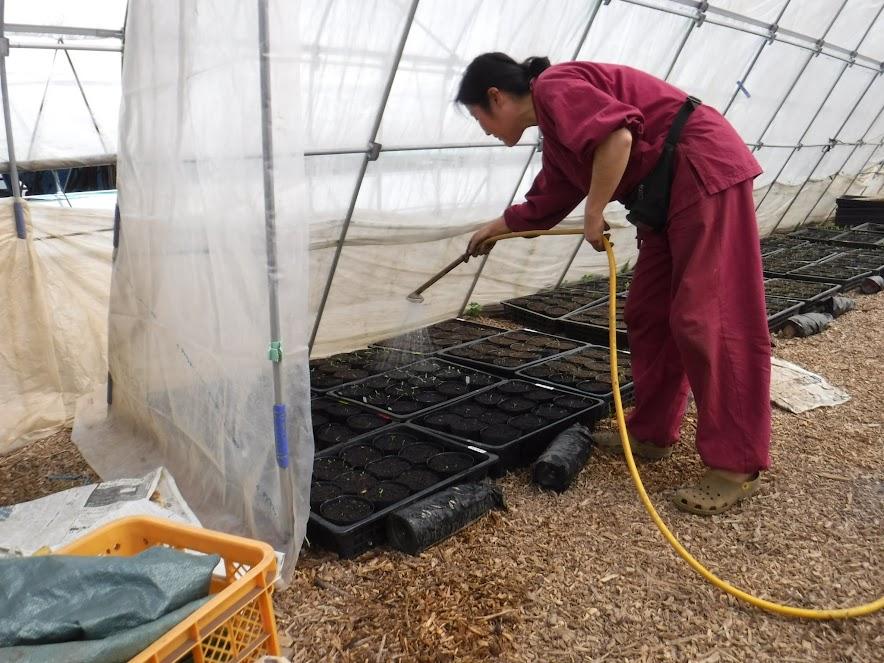 動力噴霧器を使って水やり。小島農園には水遣り用の風呂桶が4つ、タマローリーが1つあります。ノズルは1万円するものですが、優しい水をかけることができます。苗がいっぱいありますが、水遣りは15分程度で完了します。