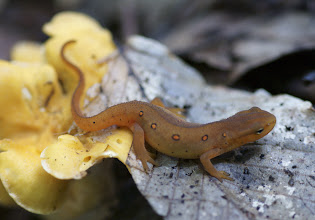Photo: Red Eft resting on Chanterelles