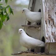 Примета залетел голубь в окно