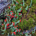 red hat lichen