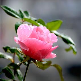 Rose by Ganesh Shahi - Nature Up Close Flowers - 2011-2013 ( rose, ganesh, nepal )