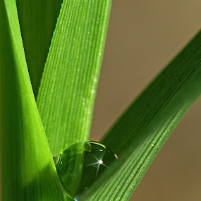Nestled in a Blade of Grass by Sharon Pierson - Nature Up Close Leaves & Grasses ( waterdrop, grass, green, star, blade )