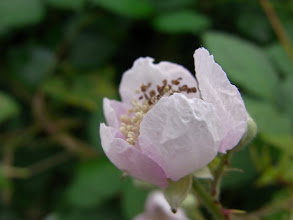 Photo: Himalayan blackberry flower