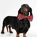 Dachshund Dogs Wallpapers icon