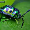 Katuk Metallic Shield-backed Bug