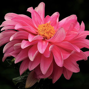 pink petals by Joanne Calderbank  - Flowers Single Flower ( yellow centre, black background, petals, pink, dahlia, flower )