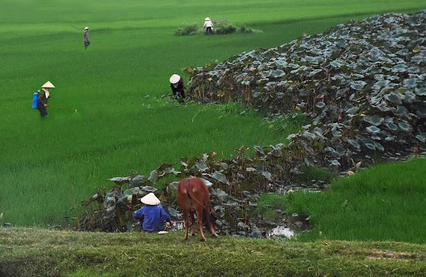 Al lavoro tra riso e fiori di loto di BastetC