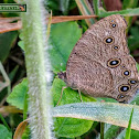 Common Evening Brown.