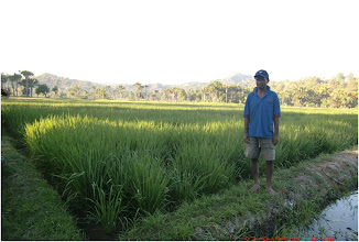 Photo: Valentino Pareira in his rice field in Timor Leste 6/27/2010 [Photo Courtesy of Iswandi Anas]