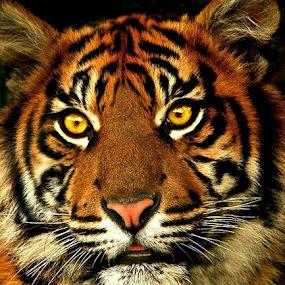 Z-Tiger by Pieter J de Villiers - Animals Lions, Tigers & Big Cats ( animals, big cats, zoo, tiger, male, , zoowatch )