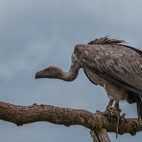 Vulture by Twan Konings - Animals Birds ( bird, wild, vulture, zoo, animal )