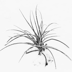 Simplicity by Roger Armstrong - Black & White Flowers & Plants ( monochrome, winter, yucca, snow, minimalism )