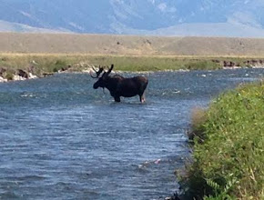 Photo: Moose in the Madison