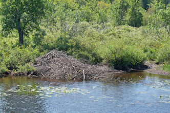 Photo: One of numerous beaver lodges we spotted.