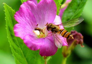 Photo: Hoverfly on Flower
