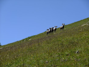 Photo: Bighorn sheep near above Trailrider's Wall. These are the big guys.