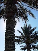 Photo: Date Palm, Downey Court, South Village, Celebration, FL