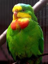 Photo: Schildsittich (Superb Parrot, Polytelis swainsonii) Australien (Fotografiert im Vogelpark Alphen, NL)
