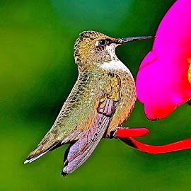 by Doug Wean - Digital Art Animals ( bird, ruby throated hummingbird, wings, hummingbird, birdfeeder,  )