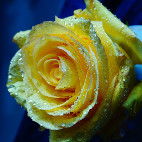 Yellow Rose by Angelika Sauer - Nature Up Close Flowers - 2011-2013 ( textures, reflections, morning dew, yellow, waterdrops, close up, art of nature, macro, nature, details, blue, roses, garden flowers, flowers )